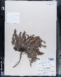 Astragalus parryi image