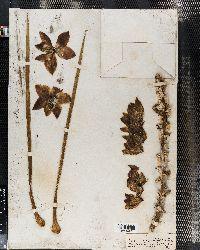 Yucca glauca var. glauca image