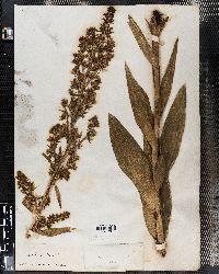 Veratrum album image