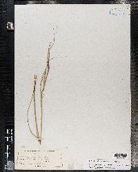 Hesperostipa spartea image