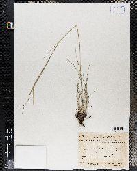 Hesperostipa comata image