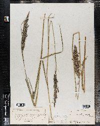 Image of Calamagrostis langsdorffii