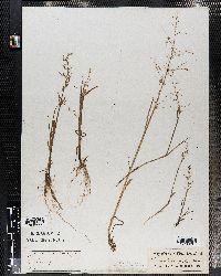Catabrosa aquatica image