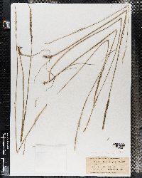 Elymus reflexiaristatus image