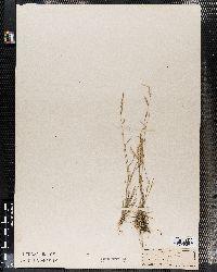 Bouteloua trifida image