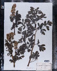 Image of Corydalis brandegeei