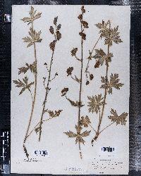 Aconitum nasutum image