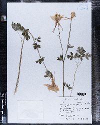 Aquilegia chrysantha image