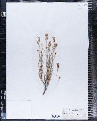 Eremogone kingii image