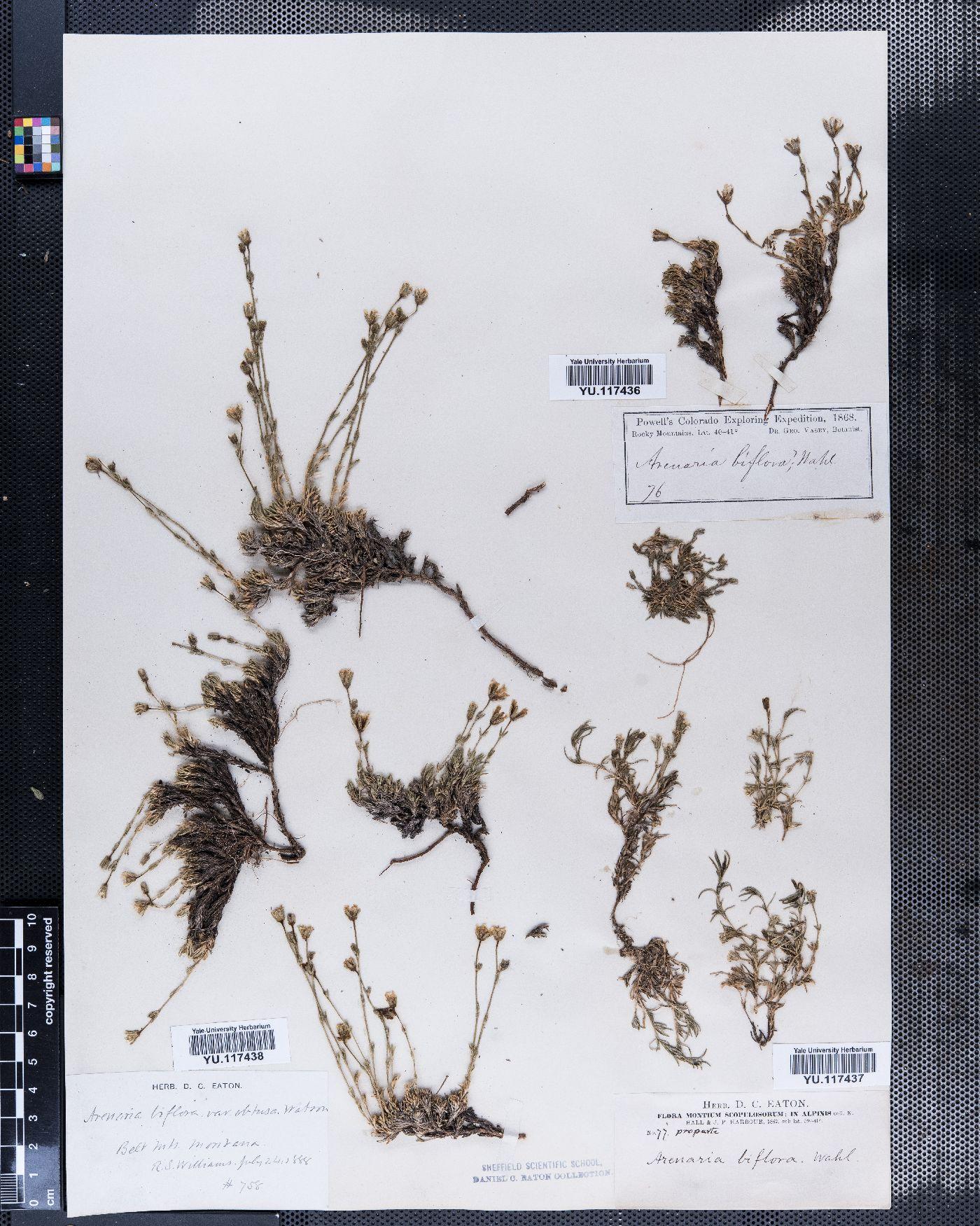 Arenaria biflora image