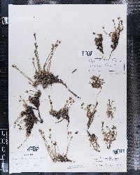 Image of Arenaria biflora