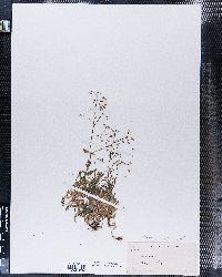 Stellaria umbellata image
