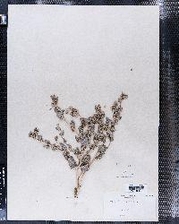 Atriplex argentea image