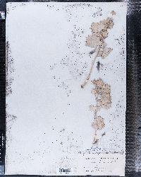 Atriplex hymenelytra image