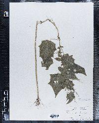Chenopodiastrum hybridum image