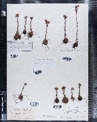 Saxifraga flagellaris image