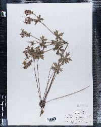 Image of Geranium cowenii