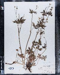 Image of Geranium gracilentum