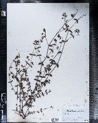 Chamaesyce nutans image