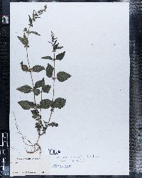 Urtica chamaedryoides image