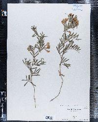 Image of Lathyrus incanus
