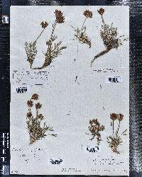 Trifolium dasyphyllum image