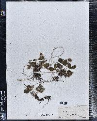 Fragaria vesca image