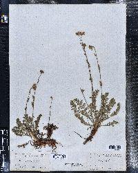 Geum rossii image