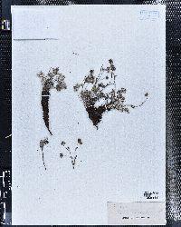 Potentilla hippiana image