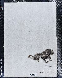 Potentilla uniflora image