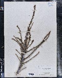 Purshia tridentata image