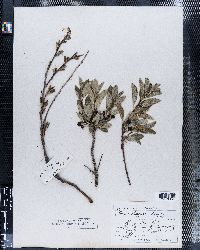 Prunus besseyi image