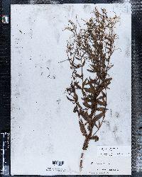 Epilobium tetragonum image