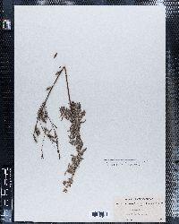 Oenothera cinerea image