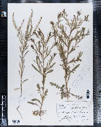 Lepidium apetalum image