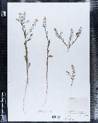 Lepidium intermedium image
