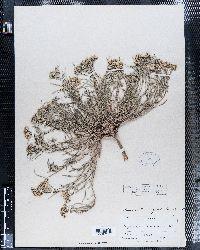 Lesquerella ludoviciana image