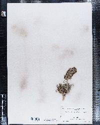 Image of Gilia cephaloidea