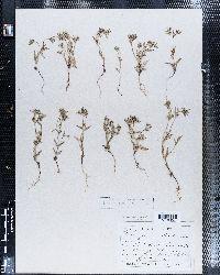 Phlox gracilis subsp. gracilis image