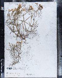 Phlox stansburyi image