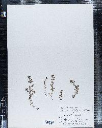 Galium bifolium image