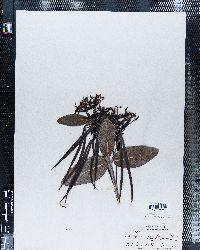 Apocynum lividum image