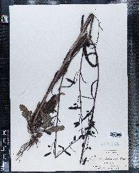 Penstemon barbatus var. trichander image