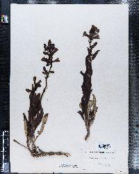 Penstemon glaber image
