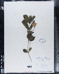 Ruellia strepens var. cleistantha image