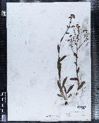 Image of Lappula deflexa