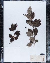 Viburnum pauciflorum image