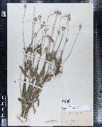 Image of Dipsacus pilosus