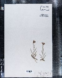 Campanula scheuchzeri image