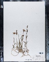 Campanula parryi image